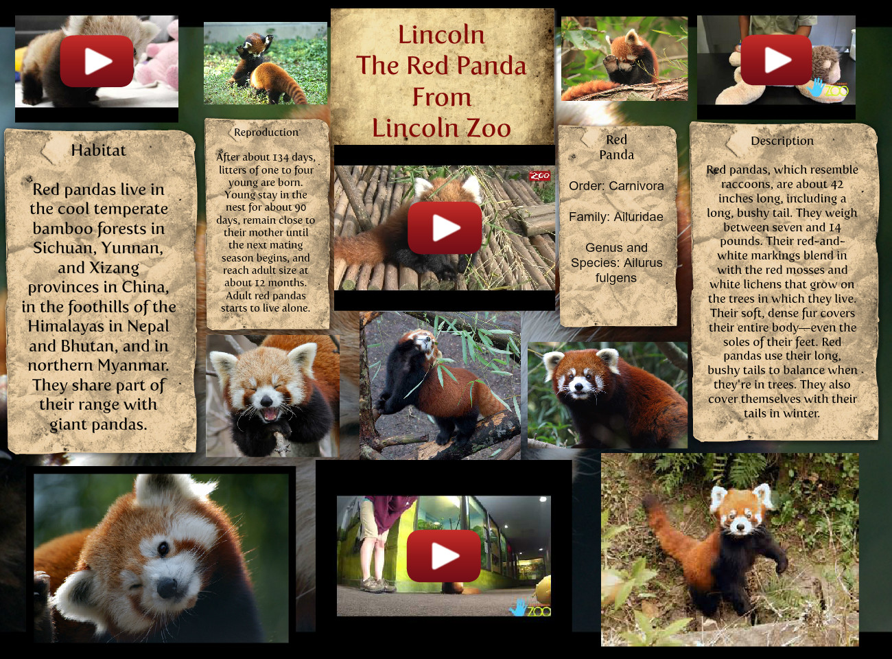 Lincoln The Red Panda From Lincoln Zoo
