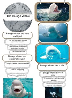 The beluga whales