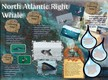 North Atlantic Right Whale thumbnail