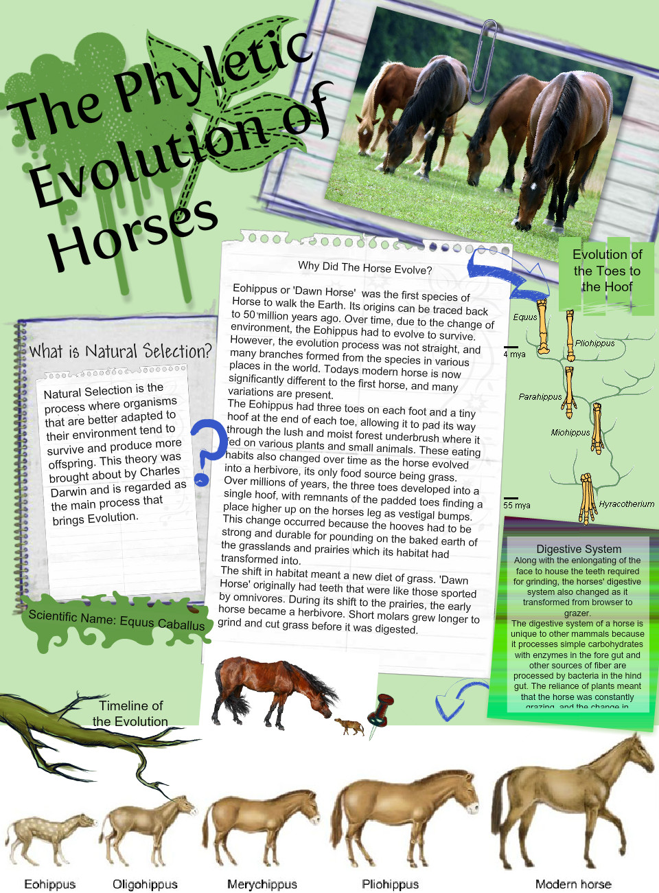 The Phyletic Evolution of Horses